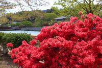 長岡天満宮の霧島ツツジ - 写真を主とした日記です