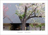 抹茶と桜あん~その6 - Minnenfoto