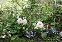 牡丹咲く庭でバラの季節の打ち合わせ - バラとハーブのある暮らし Salon de Roses