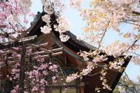 京都桜さんぽ ~平安の香る水~ - 雲母(KIRA)の舟に乗って