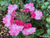 ソファー探しと庭の花 - ひとり言