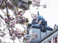 満開だった八重桜 - 瞳の記憶