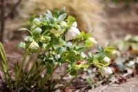 クリスマスローズ - my small garden~sugar plum~