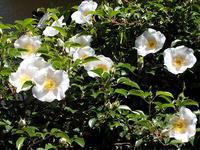 白い花、ふたつ - しらこばとWeblog
