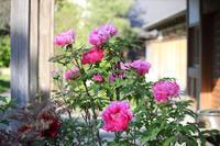 牡丹と藤が咲く高願寺 - 写真の記憶