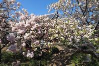 八重桜の咲くお寺新家長福寺・当麻寺 - 峰さんの山あるき