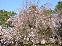 『各務原市民公園の桜と鳥~』 - 自然風の自然風だより