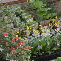宿根草 - sola og planta ハーブを育てながら