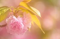 八重咲きの里桜の花 - やきとりブログ
