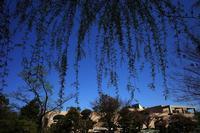 櫻が散って新緑の準備20210410 - Yoshi-A の写真の楽しみ