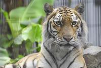 2020.6.26 宇都宮動物園☆アムールトラのアズサちゃん【Amur tiger】 - 青空に浮かぶ月を眺めながら