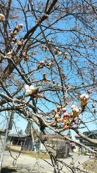 桜が咲き始めました。 - 今猫ちぐら作成に大はまり!!          (My handmaid items and Farmer's daily life)