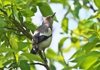 カラムクドリ - くまさんの二人で鳥撮り