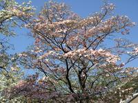 ハナミズキ - Otono123's Blog