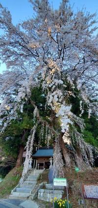 堂山王子神社のしだれ桜@福島県田村市 - 963-7837