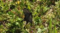 ジャコウアゲハ胡蝶の舞 - 虫のひとりごと