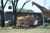 エランドのこども - 動物園へ行こう