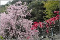 山里の枝垂れ桜 - 野鳥の素顔 <野鳥と日々の出来事>