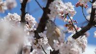 9年前のツミと桜 - Life with Birds 3