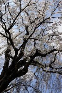 長野そぞろ歩き:花見・光林寺の枝垂れ桜 - 日本庭園的生活
