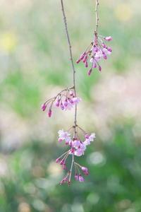 枝垂れ桜 - tokoのblog
