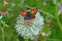 ベニシジミタンポポの綿帽子 - 蝶のいる風景blog