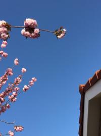 八重桜 - yosshii-kamoHouse