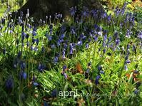 春たけなわ:咲きはじめたブルーベルにまだ桜も - park diary