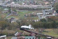 新緑が芽吹いた雑木林と桜並木- 2021年桜・秩父鉄道 - - ねこの撮った汽車
