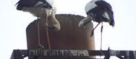 コウノトリの飛来と学会への仕込み - 神野正博のよもやま話