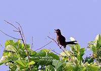 亜種タイワンヒヨドリは、特に胸から体下面が茶褐色で、嘴は太くて大きい - THE LIFE OF BIRDS ー 野鳥つれづれ記