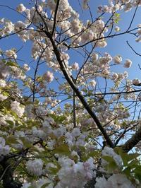 八重桜と新緑。 - 嵐山ハイブリッド美術館日記