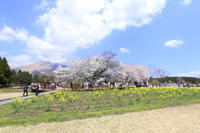 2021年熊本の桜 - 空いいよ!どっと混む♪