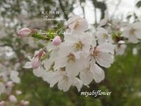 さよなら さくら ~ 春色しりとり - 風と花を紡いで