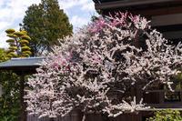 梅と河津桜咲く法住寺 - 花景色-K.W.C. PhotoBlog