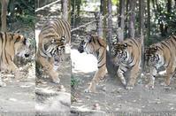 動物園とカメラと。振り向いてもヤツの瞳をAF。スマトラトラ sony α1 + SEL70200GM + Photoshop 実写#a1 - さいとうおりのお気に入りはカメラで。