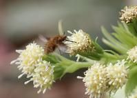 早春の花と昆虫双翅目編 - 公園昆虫記