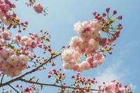 山桜とレンゲ - あだっちゃんの花鳥風月