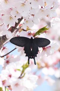 桜ジャコウアゲハ - 続・蝶と自然の物語