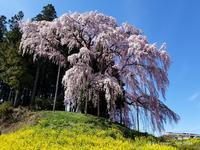 ◆ 2年前「合戦場のしだれ桜」再び(2021年4月) - 空とグルメと温泉と
