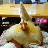 人の手を暖めるチャボ - 烏骨鶏かわいいブログ