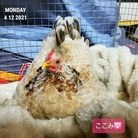 他の子の卵を奪う - 烏骨鶏かわいいブログ