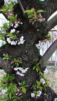 藤田八束の鉄道写真@さくら夙川駅は桜の名所、桜の美しい季節になりました。桜からもらえる力は大きい、この季節に桜を見て免疫力を上げませんか - 藤田八束の日記