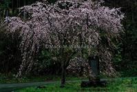 高森町カーブ桜 - Mark.M.Watanabeの熊本撮影紀行