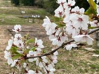 枝垂れ桜 - 流れる雲のように