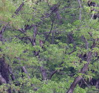 サシバ:③新緑の香り2021 - バード・アイ・ライフ