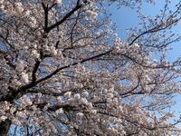 新学期、緑色の桜(鬱金桜/ウコンザクラ) - 世話要らずの庭