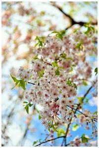 今年最後の枝垂れ桜 -  one's  heart