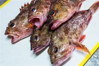 シリーズ・真夜中に魚を捌く・3・カサゴおっと(^O^)ウッカリ・・ - Shisen