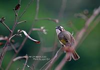 日本固有の亜種ヤエヤマシロガシラは、八重山諸島に生息 - THE LIFE OF BIRDS ー 野鳥つれづれ記